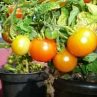 Вырастите у себя дома Балконные помидоры, смотрим как правильно выращивать и выбираем сорта томатов для посадки