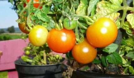 Вырастите у себя дома Балконные помидоры, как правильно выращивать и выбрать сорта томатов для посадки на балконе