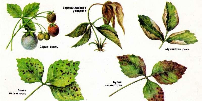 Болезни Садовой клубники и их признаки