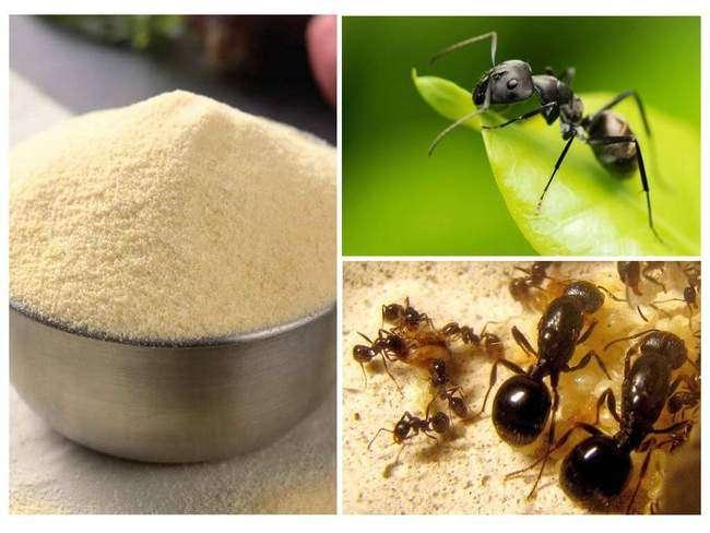 Борьба с муравьями на садовом участке при помощи манки