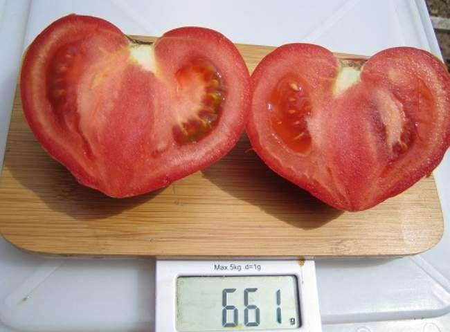 Урожай томата Бычье Сердце Минусинское