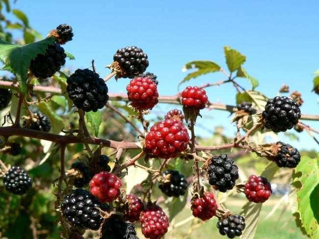 Черные ягоды Шелковицы
