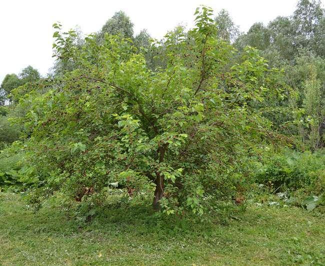 Дерево Шелковицы черной