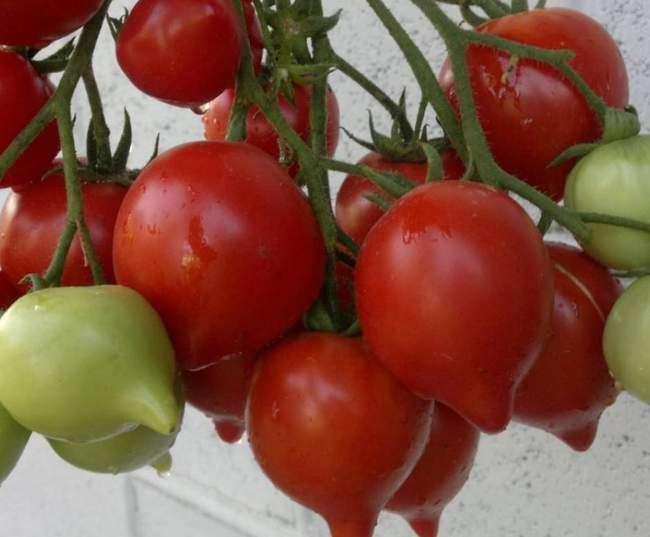 Кисть с плодами помидор Буденовка