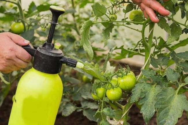 Опрыскивание помидор настоями от Белокрылки