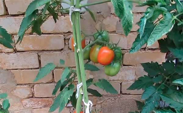 Отзыв о сорте помидор Де Барао