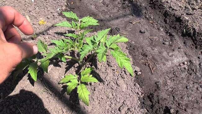 Пересадка томатов в грунт