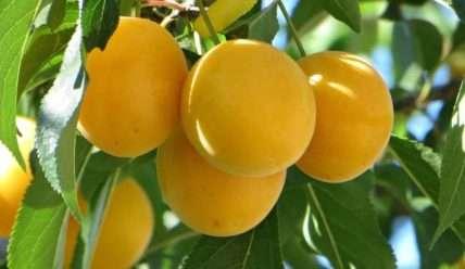 Описание Алычи, посадка, выбор места и уход за плодовым деревом