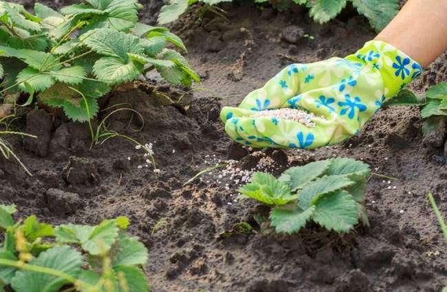 Подкормка Садовой клубники