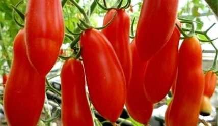 Как выращивать помидоры Дамский угодник: характеристика и описание сорта