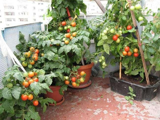 Помидоры растущие на балконе