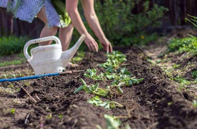 Посадка садовой земляники на новое место