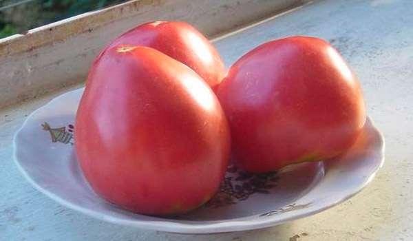 Собранный урожай томатов Лентяйка