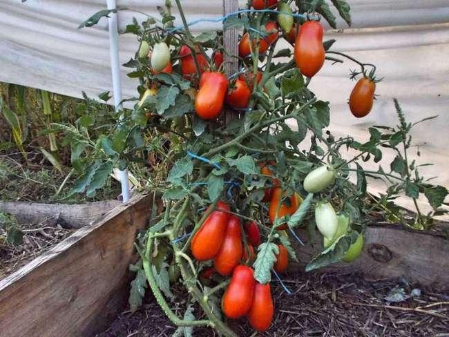 Сорт томата Комнатный сюрприз