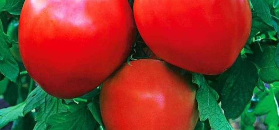 Описание томата Лентяйка, его характеристики и отзывы садоводов