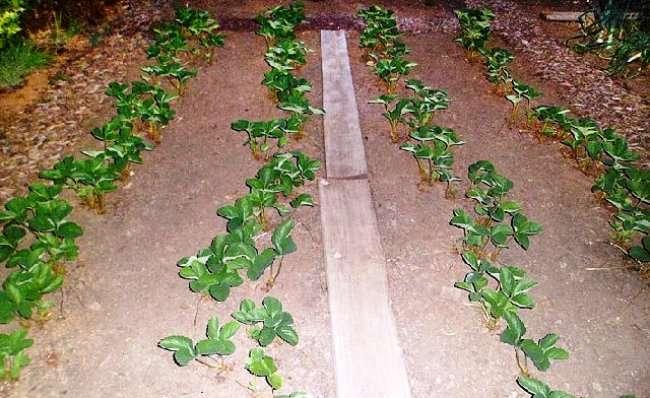Схема посадки садовой клубники