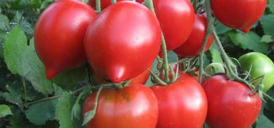 Характеристика сорта томата Буденовка, выращивание, уход и урожайность сорта