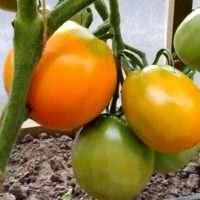 Описание сорта Томата Хурма, его характеристика, и на что обратить внимание при выращивании