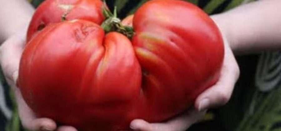 Минусинские помидоры: описание сортов, отзывы, фото