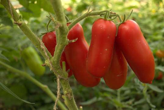 Помидоры сорта томата Жиголо
