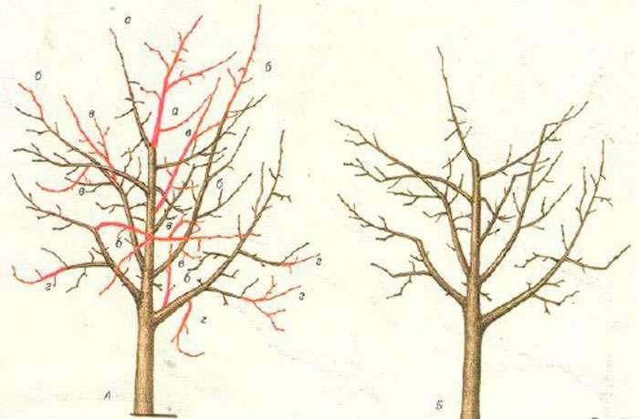 Уход за Шелковицей Обрезка дерева