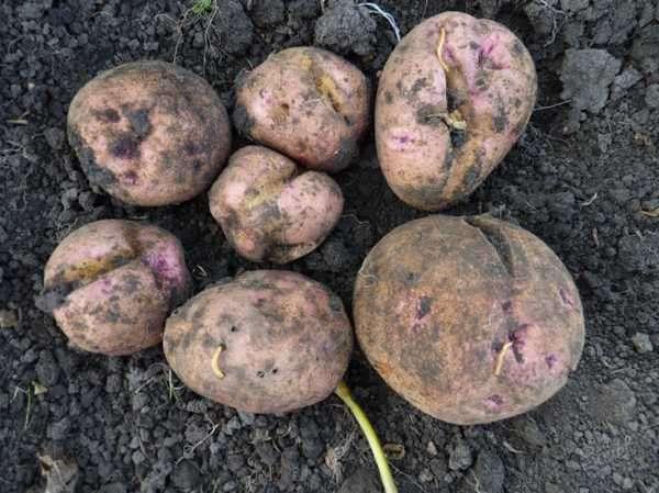 Урожай картошки поврежденный проволочником