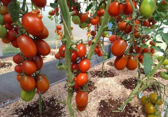 Урожайность помидор Де Барао
