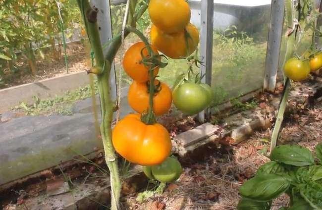 Урожайность помидор сорта Хурма