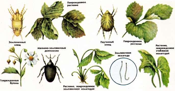 Вредители Садовой земляники и признаки их появления