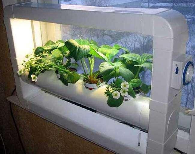 Выращивание садовой клубники в домашних условиях
