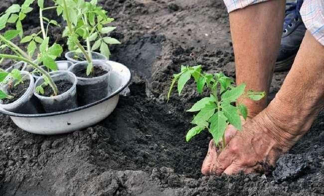 Высадка рассады помидор в открытый грунт