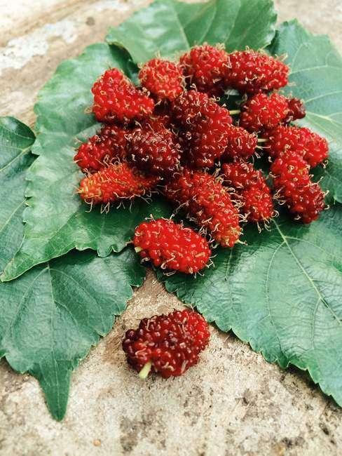 Ягоды Красной Шелковицы