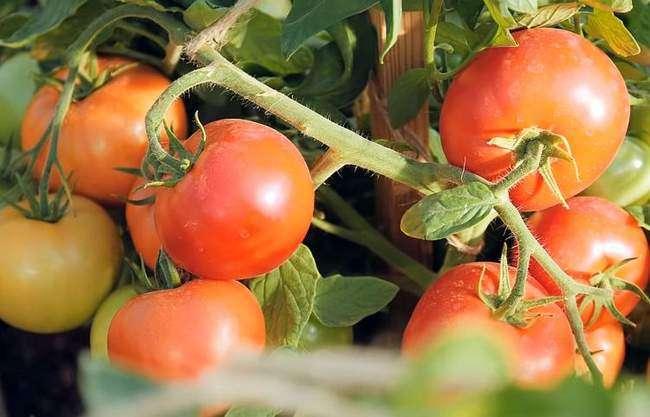 Помидоры Верочка Ф1 ярко-красного цвета и высокими вкусовыми качествами