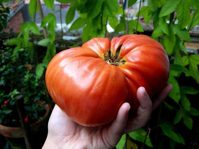 Вот такие томаты сорта Минусинские получаем с теплицы