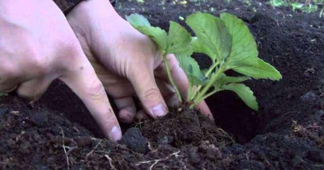 Высадка розетки клубники в грунт