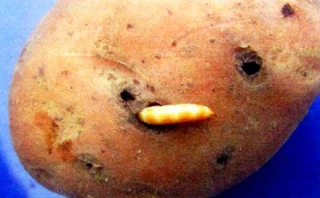 Проволочник на картошке