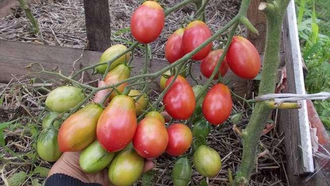 Плоды сорта Баттерфляй