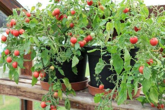 Cорт помидоров Садовая жемчужина