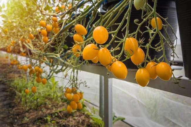 томат Вишня (cherry) Желтая
