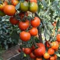 Характеристика сорта томата Видимо-Невидимо, описание сорта и особенности выращивания помидор