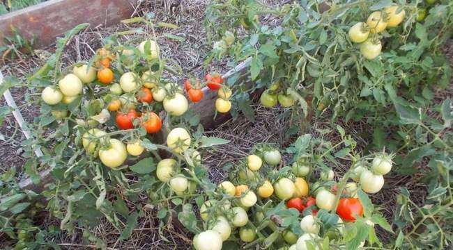Урожай томатов сорта Видимо-Невидимо