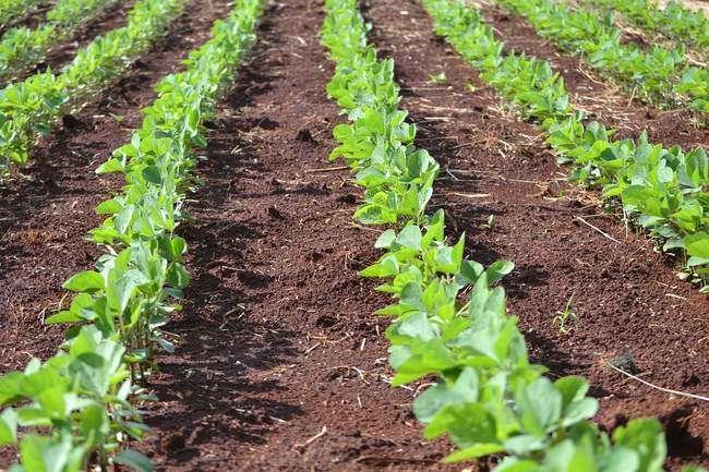 Агротехника выращивания бобов