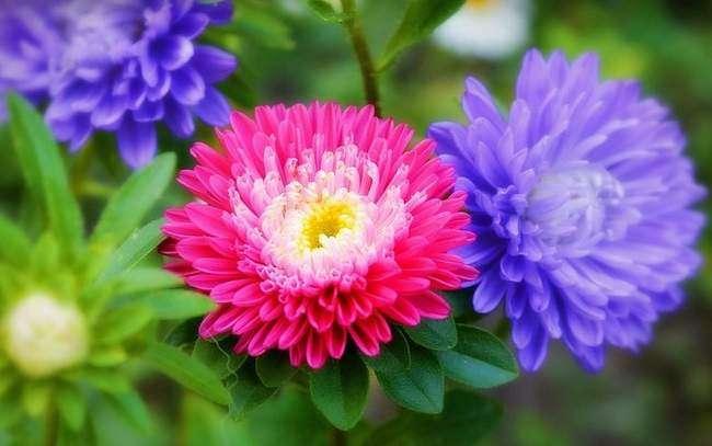 Астры цветы на клумбе