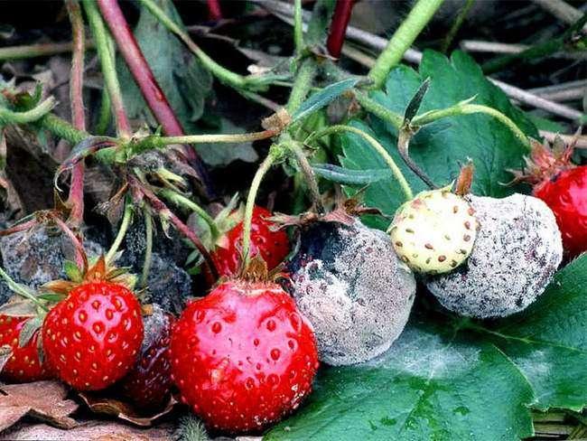 Белая гниль на ягодах клубникик
