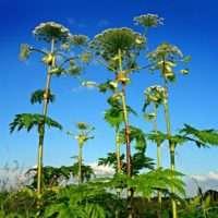 Методы борьбы с Борщевиком или как вывести сорняк с огорода