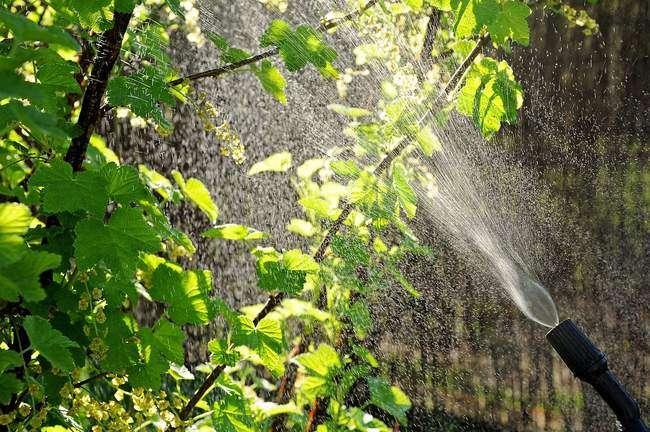 Борьба с тлей Опрыскивание кроны деревьев и кустарников