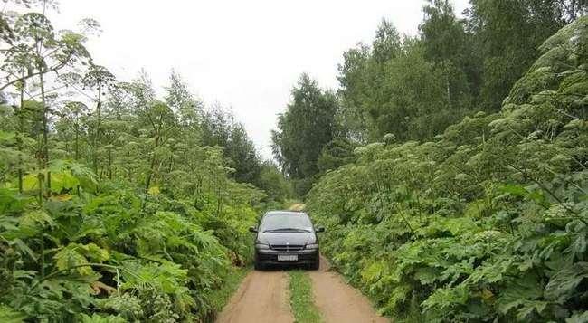 Борщевик часто можно увидеть вдоль дорог