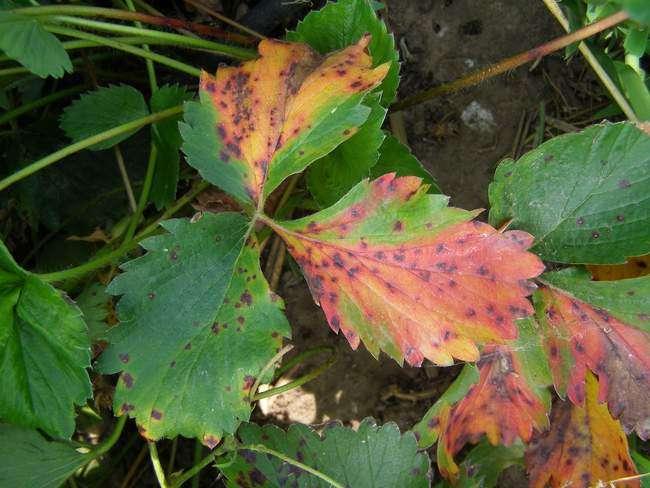 Бурая пятнистость на листьях садовой земляники