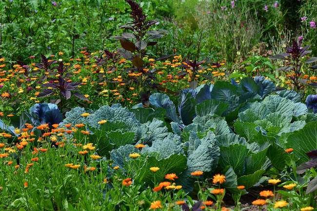 Что посадить рядом с капустой на грядке
