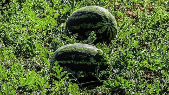 Где лучше высаживать арбузы